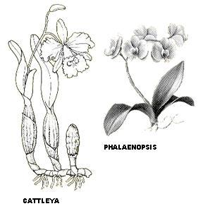 CATTLEYA-PHALAENOPSIS.JPG