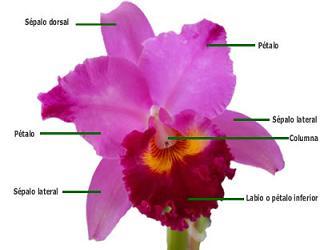 ¿Cuáles son las principales características de las orquídeas?