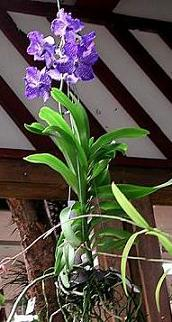 vanda-blue-magic.jpg
