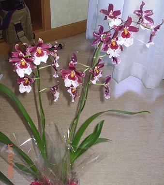 La orquidea de Ixeia